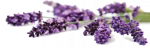 cropped-lavender.png